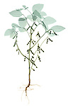 X-ray image of a soybean plant (color on white) by Jim Wehtje, specialist in x-ray art and design images.