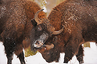 European Bison, Bialowieza Forest, Poland