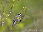 Golden-winged Warbler (Vermivora chrysoptera), male in breeding plumage, singing, Gouverneur County, New York, USA