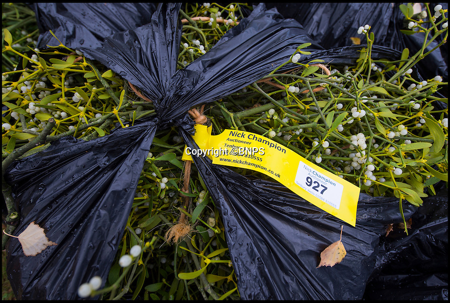 BNPS.co.uk (01202 558833)<br /> Pic: PhilYeomans/BNPS<br /> <br /> The centuries old auction in Tenbury Wells, Worcesteshire, where buyers come from all over the world to buy British mistletoe.<br /> <br /> Retired policeman Simon Davies is rushed off his feet after branching out into an unlikely new profession - collecting and selling English mistletoe.<br /> <br /> After hanging up his bobby's hat the former detective constable now plies his trade harvesting the traditional festive plant from disused apple orchards.<br /> <br /> During the short two-month mistletoe season Simon will have to make dozens of trips to orchards surrounding the Worcestershire market town of Tenbury Wells, the historic home of English mistletoe.<br /> <br /> Simon's business the English Mistletoe Company sells 5kg boxes of mistletoe for &pound;40 and high profile clients have included luxury handbag company Mulberry, top fashion designer Margaret Howell and cancer charity Maggie's.