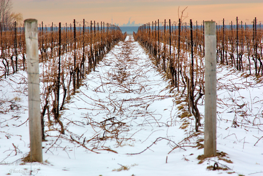 Winter view of a Niagara on the Lake vineyard with a view of Toronto in the background