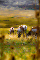 Female antelope aka pronghorn grazing on the National Bison Range in Montana