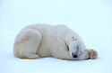 Male polar bear sleeping on ice, Churchill, Manitoba, Canada