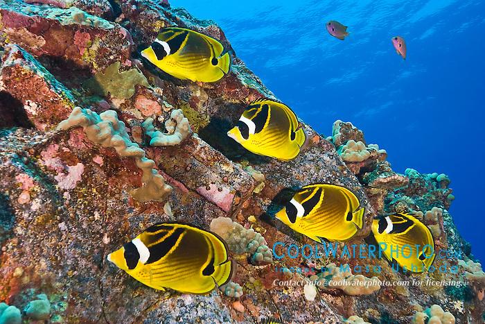 raccoon butterflyfish, Chaetodon lunula, schooling, Kona Coast, Big Island, Hawaii, USA, Pacific Ocean