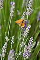 Small skipper butterfly (Thymelicus sylvestris) on lavender, mid July.