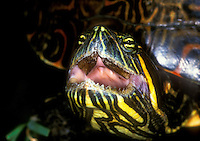 477950021 closeup of the head and mouth of a wild adult red-eared slider trachemys scripta elegans on a ranch in tamaulipas state in mexico