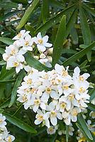 Choisya ternat Aztec Pearl shrub in white flowers in spring, April flowering shrub