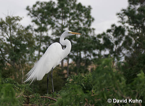 0311-0888  Great Egret Displaying Breeding Plumage, Ardea alba © David Kuhn/Dwight Kuhn Photography