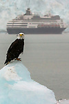Bald eagle and cruise ship, Glacier Bay National Park and Perserve, Alaska