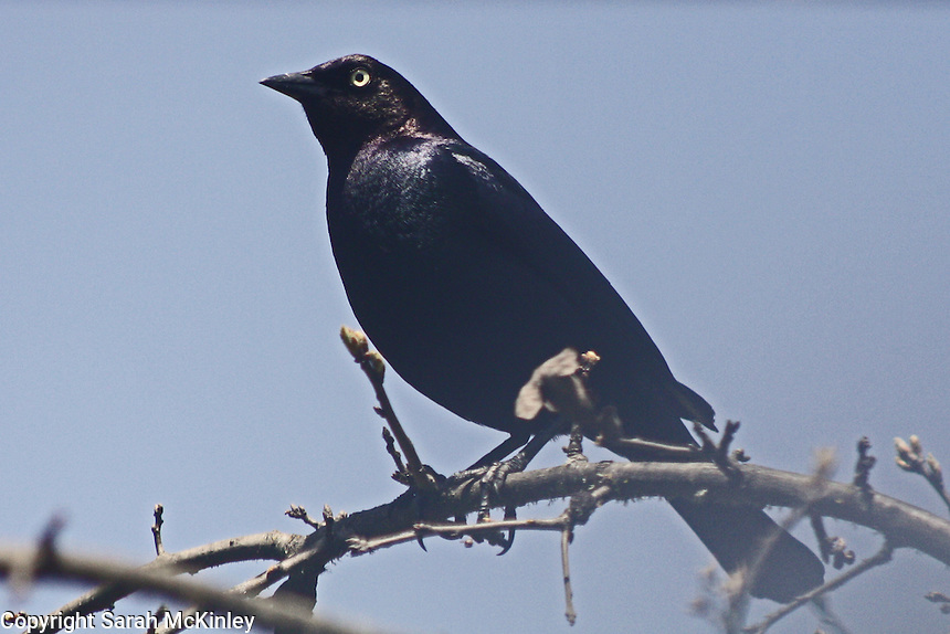A male Brewer Blackbird perched on a young Valley Oak outside of Willits in Mendocino County in Northern California.