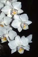 Phalaenopsis Timothy Christopher Orchid Hybrid of Cassandra x amabilis. Miniature with multiple spikes, multifloral phal