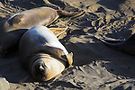 Several elephant seals playfully roll in the sand on a beach along the California Pacific coast.