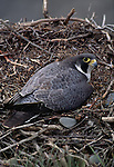 Peregrine Falcon sits on nest, Brooks Range, ANWR, Alaska.