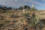 Desert Flowers in Big Bend National Park, Texas