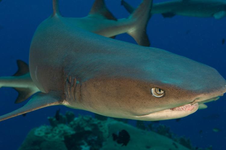 Whitetip reef shark (Triaenodon obesus), close up head view, Fathers reefs, Kimbe Bay
