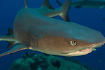Whitetip reef shark (Triaenodon obesus), close up head view, Fathers reefs, Kimbe Bay