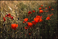 Poppies, Suffolk, 2011