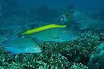 Yellow trumpetfish (Aulostomus chinensis)