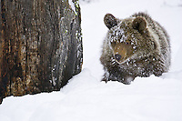 Young Grizzly Bear walking through the snow - CA