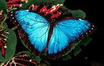 Morpho Peleides Butterfly, wings open on leaf, blue, rainforest, jungle.Costa Rica....