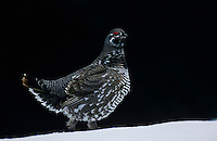 Spruce Grouse, Falcipennis canadensis,male walking on snow, Homer, Alaska, USA