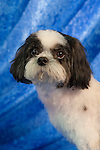 Shih-Tzu in the lap of luxury Shopping cart has 3 Tabs:<br /> <br /> 1) Rights-Managed downloads for Commercial Use<br /> <br /> 2) Print sizes from wallet to 20x30<br /> <br /> 3) Merchandise items like T-shirts and refrigerator magnets