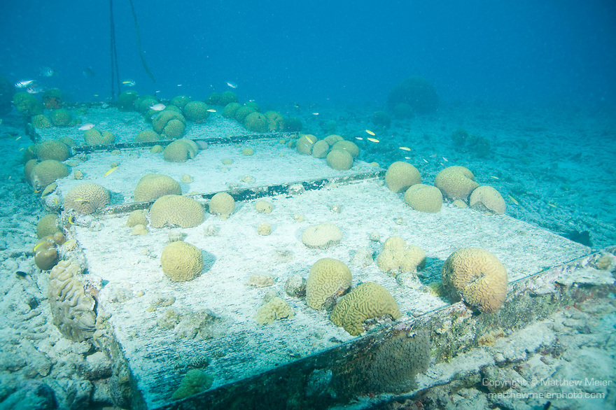 Bonaire, Netherlands Antilles; numerous, small, round brain corals attached to a large weighted struction on the sea floor which supports a mooring line for dive boats , Copyright © Matthew Meier, matthewmeierphoto.com All Rights Reserved