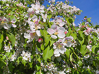 Malus crabapples in flower in spring, possibly M. x zumi 'Golden Hornet'