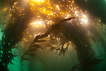 Kelp forest, Beagle Channel, Ushuaia, Southern Argentina
