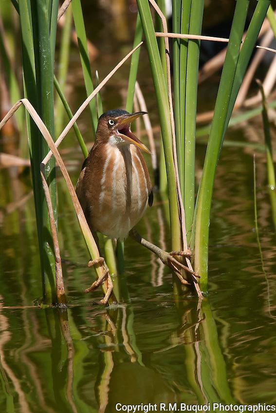 Least Bittern straddling reeds.