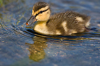 Baby Mallard Duckling swimming in a pond