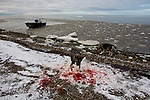 A pair of sled dogs sniff through the bloody snow where a seal has recently been brought to shore by hunters working the slowly freezing Chuchki Sea and Arctic Ocean along the waterfront of the Native Alaskan Inupiaq community of Kotzebue, Alaska. In some Arctic communities the future of sled dogs used in subsistence activities on the sea ice is increasingly threatened by ice that forms later and more thinly with each year of warming temperatures. The residents of Kotzebue and other communities in Alaska depend upon subsistence to bolster their diet and culture.