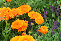 Calendula offcinalis + Spanish Lavender herb Lavandula 'Helmsdale'