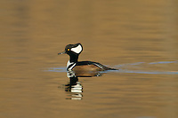 Hooded Merganser (Lophodytes cucullatus) - Male swimming on lake with copper/bronze reflection of trees