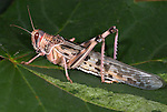 Desert Locust, Schistocerca gregaria, Adult with fully formed wings, growth sequence, gregarious form