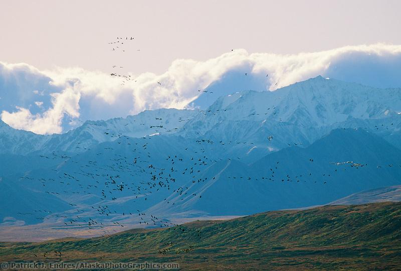 Sandhill cranes in flight, Alaska mountain range, Denali National Park, Alaska