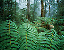 Australia, Victoria, Great Ocean Road, Otway Ranges, temperate rainforest in fog, Southern beech and fern trees