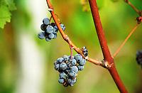 grape bunch bordeaux