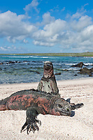 Uniquely colored red and green marine iguanas, Punto Suarez, Espanola Island, Galapagos Islands, Ecuador.