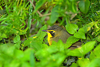 591970007 a wild male kentucky warbler geothlypis formosa - was opronis formosum -  forages for insects on the ground on south padre island cameron county texas united states