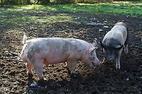 Tom (left), now a full grown pig, is annoyed with Mona who won't let him have his way with her in Edgewood, Washington on April 4, 2015. (© Karen Ducey Photography)