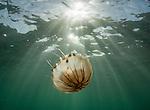 Compass jellyfish (Chrysaora hysoscella) at Lundy Island, United Kingdom