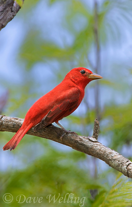 580980008 a wild male summer tanager piranga rubra songbird perches on a small limb on south padre island cameron county texas