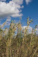 Common Reed (Phragmites australis) - Los Banos, CA