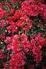 red Bougainvillea blossoms<br /> <br /> Bougainvillea flores rojos<br /> <br /> rote Bougainvillea Bl&uuml;ten<br /> <br /> Original: 35 mm slide transparency