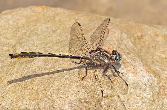 334060014 a wild oklahoma clubtail dragonfly gomphus oklahomensis on indian creek jasper county texas united states