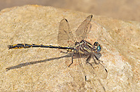 334060014 a wild oklahoma clubtail dragonfly gomphus oklahomensis on indian creek jasper county texas united states