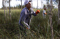 "Workers attack individual saplings of Melaleuca trees stand in wetland prairies in the Everglades. The invasive tree took over 500,000 acres of South Florida wetlands before restoration began near Lake Okeechobee. South Florida Water Conservation and the Everglades National Park are embarked on the largest wetlands restoration attempted--and the most expensive. Melaleuca (Melaleuca quinquenervia), of Australian origin, forms a dense monoculture choking out all other plant life as seeds blow across the ""River of Grass."""