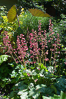 Heuchera Berry Timeless in flower, colocasia