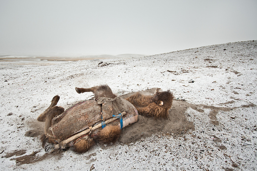 A Bactrian camel rolling on sand...Trekking through the high altitude plateau of the Little Pamir mountains, where the Afghan Kyrgyz community live all year, on the borders of China, Tajikistan and Pakistan.